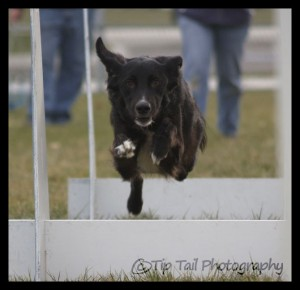 Border Collie Flyball