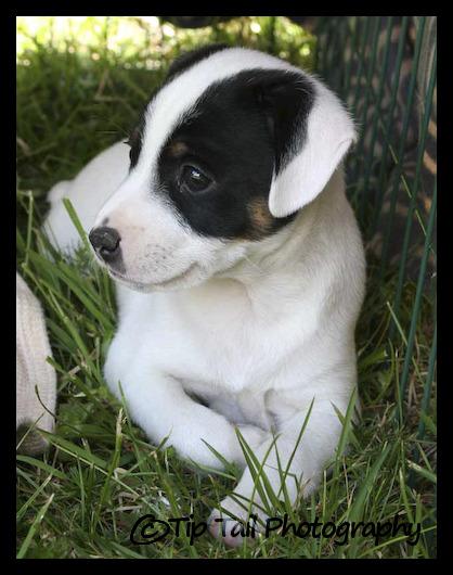Farmdog Puppy