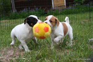 Danish-Swedish Farmdog Puppies