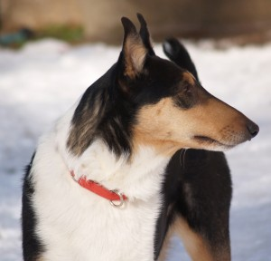 smooth collie tricolor