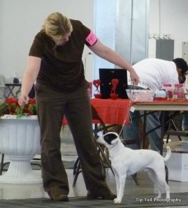 Danish-Swedish Farmdog UKC Champion